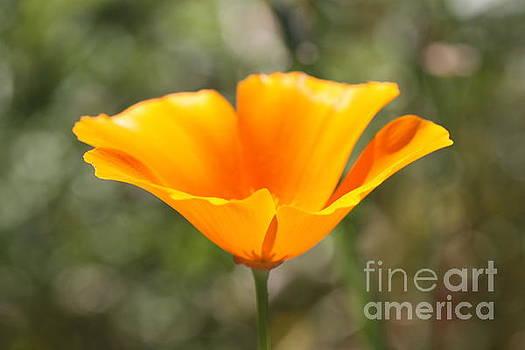 Poppy Flower by Cathy Dee Janes
