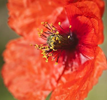 Pedro Cardona Llambias - Poppy close up