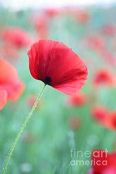 Poppy Dream  by AR Annahita