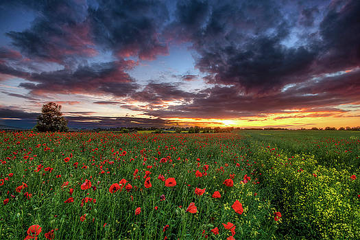 Poppy Field by Scott Masterton