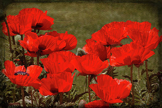 Poppy Greetings by ArtissiMo Photography