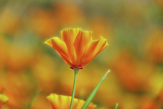 Poppy in the Sun by Rick Lawler