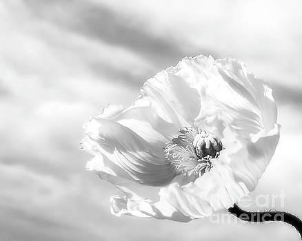 Poppy in the Wind by Beth Riser