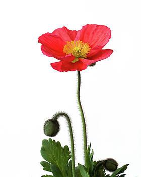 Poppy by Ken Mickel