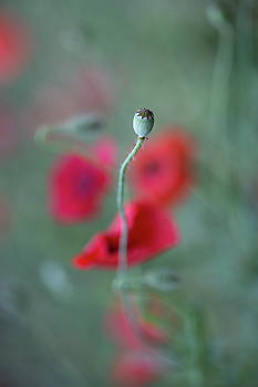 Poppy, the cycle by Jakub Sisak