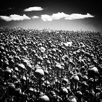 Poppyfields Photo By by Paul Dal Sasso