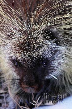 Porcupine by Alyce Taylor