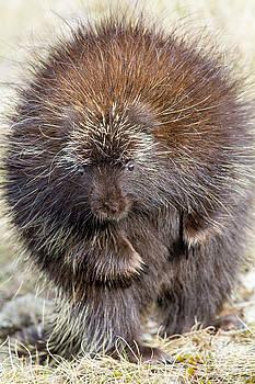 Porcupine Dancing by Scott Leslie