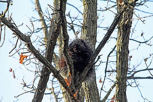 Debbie Oppermann - Porcupine In Fall
