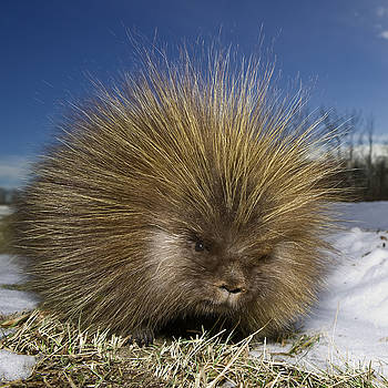 Porcupine by Paul Burwell