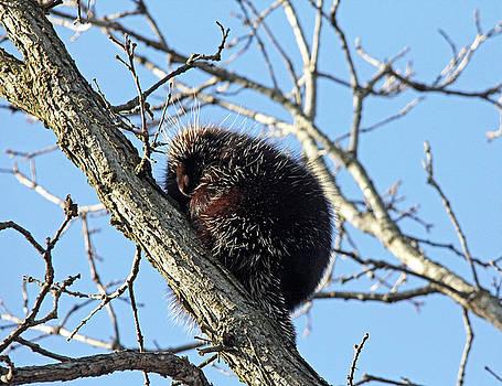 Debbie Oppermann - Porcupine Up A Tree
