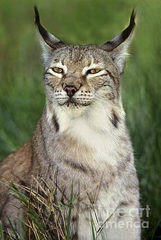 Dave Welling - portrait canadian lynx felis lynx wildlife rescue