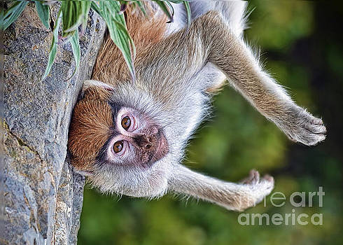 Portrait of a Baby Patas Monkey Hanging Upside Down by Jim Fitzpatrick