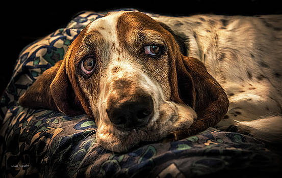 Portrait of a Basset Hound by Louise Hill