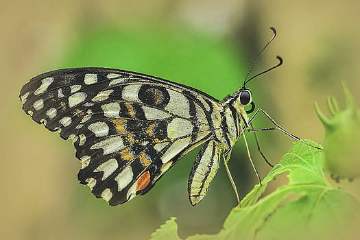 Portrait of a Butterfly by Ravi S R