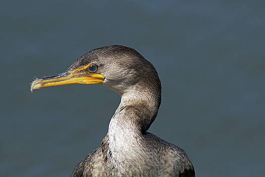 Portrait of a Cormorant by TJ Baccari