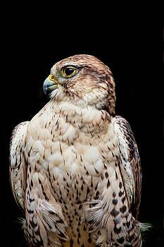Peggy Collins - Portrait of a Ferruginous Hawk