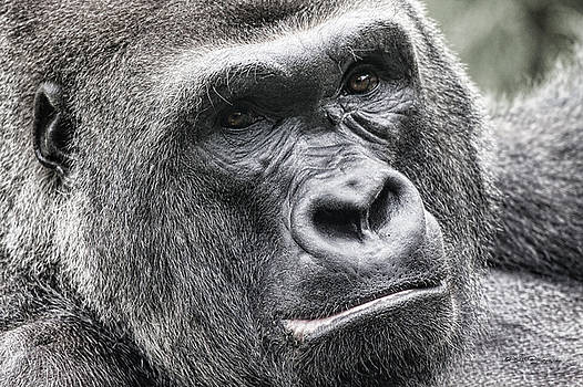 Portrait of a Gorilla by Jeff Swanson