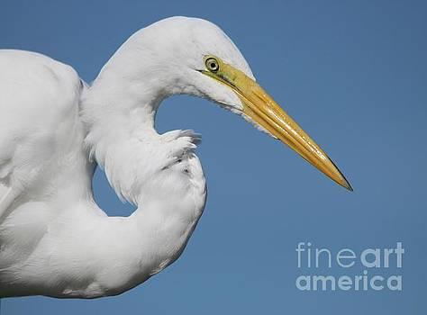 Paulette Thomas - Portrait Of A Great White Egret