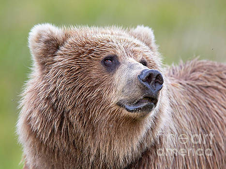 Portrait of a Grizzly by Richard Garvey-Williams