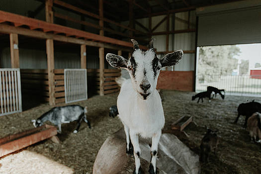 Portrait of a Happy Goat by Amber Flowers