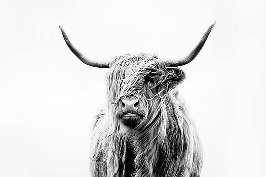 portrait of a highland cow by
