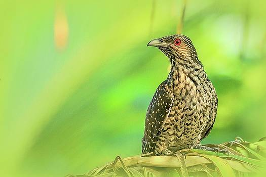 Portrait of a Koel by Ravi S R