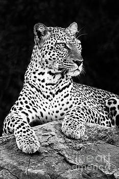 Portrait of a Leopard by Richard Garvey-Williams