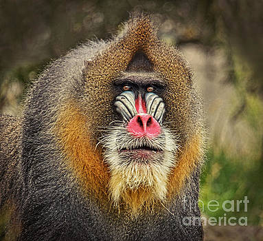Portrait of a Mandrill II by Jim Fitzpatrick