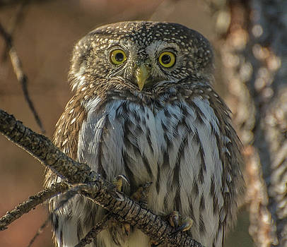 Portrait of a Northern Pygmy Owl by Constance Puttkemery