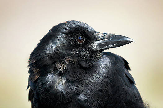 Portrait of a Raven 001 by Lon Casler Bixby