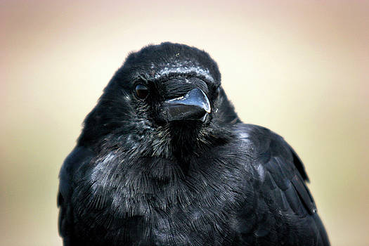 Portrait of a Raven 002 by Lon Casler Bixby
