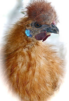 Venetia Featherstone-Witty - Portrait of a Silkie