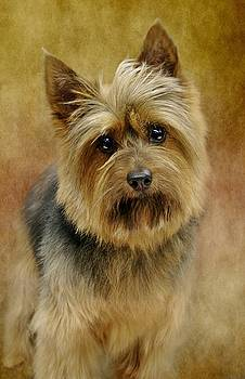 Portrait Of A Silky Terrier by Stephanie Calhoun