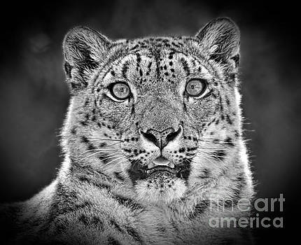 Portrait of a Snow Leopard black and white version by Jim Fitzpatrick