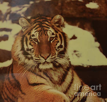 Portrait Of A Tiger 2 by Ruth Housley