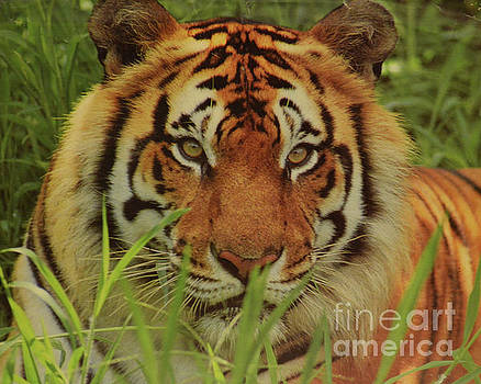 Portrait Of A Tiger by Ruth Housley