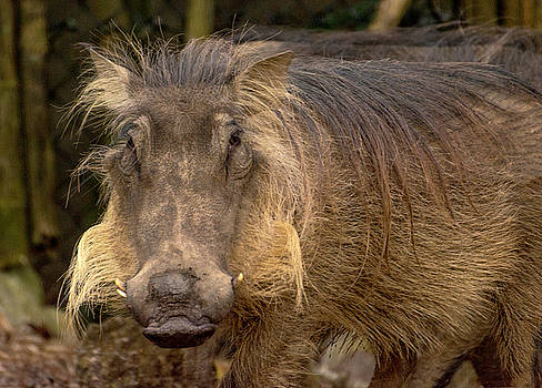 Portrait of a Warthog by Tito Santiago