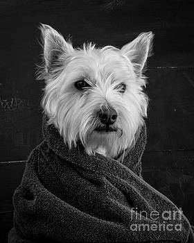 Portrait of a Westie Dog 8x10 ratio by Edward Fielding