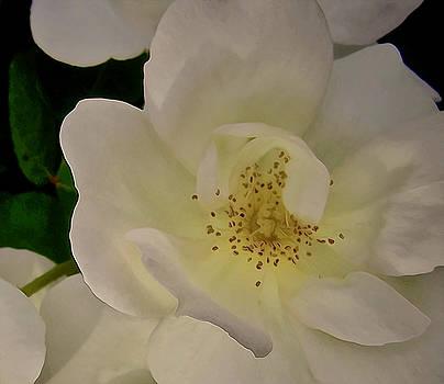 Portrait of a White Rose by Elizabeth Tillar