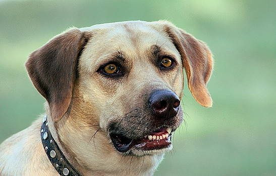 Portrait of a Yellow Labrador Retriever by Sheila Brown