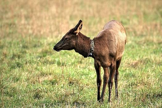 Carol Montoya - Portrait Of An Elk Calf Growing Up