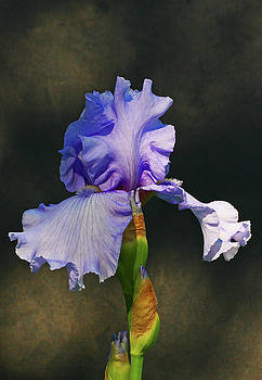 Portrait of an Iris by Steve Augustin