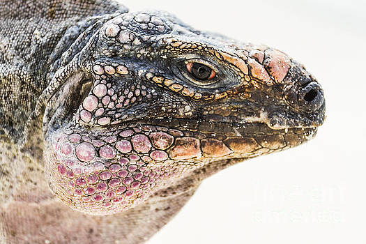 Portrait of Iguana by Pier Giorgio Mariani