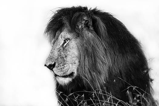Portrait of Lion Notch in Masai Mara, Kenya by Maggy Meyer