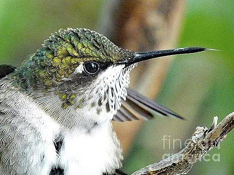 Cindy Treger - Portrait of A Ruby-throated Hummingbird