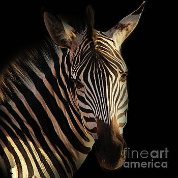 Portrait of Zebra by Barbara Dudzinska