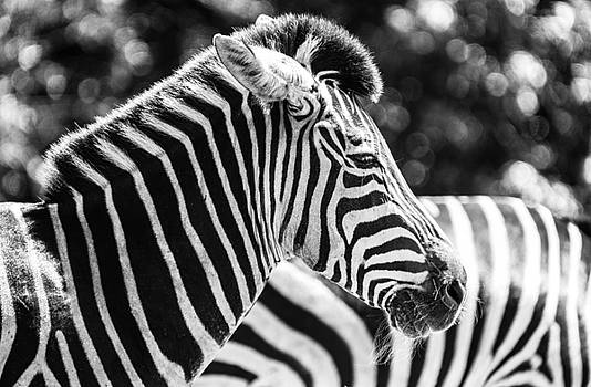 Portrait Of Zebra In Black And White by Sunman Studios