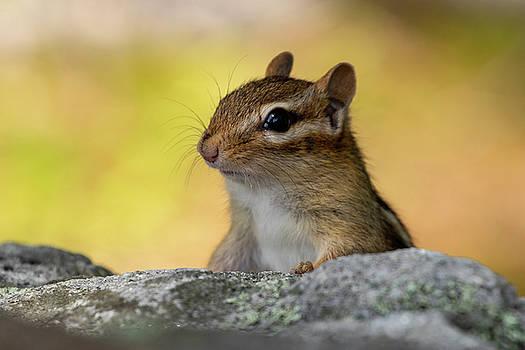 Posing Chipmunk by Betty Pauwels