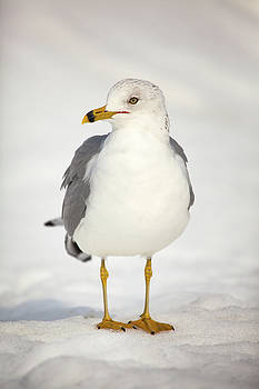 Karol Livote - Posing Gull